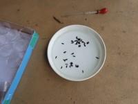丸茂先生が育てたゲンジボタルの幼虫